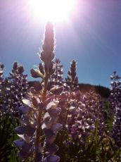 Fields of lupine. Bighorn National Forest, WY