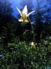 Columbine. (Aquilegia flavescens, Ranunculaceae) Red Lodge, MT