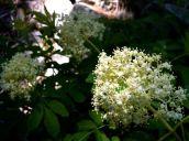 Elder flowers (Sambucus nigra ssp. canadensis, Caprifoliacae) Red Lodge, MT