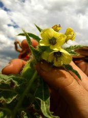 Henbane (Hyoscyamus niger, Solanaceae) Near Dillon, MT
