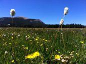 Bistort (Polygonum bistortoides, Polygonaceae) Beaverhead-Deerlodge National Forest