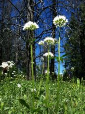 Wild Valerian (Valeriana sitchensis, Valerianaceae) Beaverhead-Deerlodge National Forest
