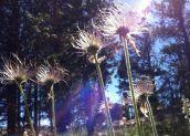 Anemone patens, Ranunculaceae